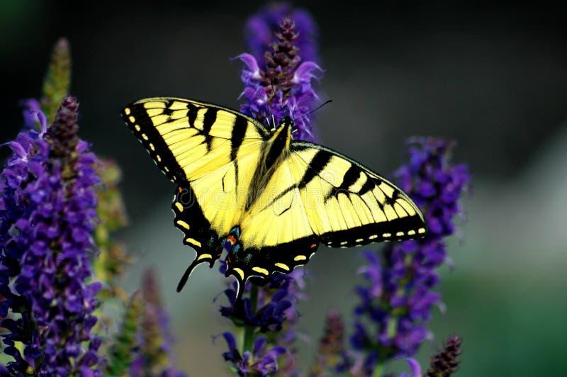 Grande farfalla gialla di Swallowtail della tigre immagine stock libera da diritti
