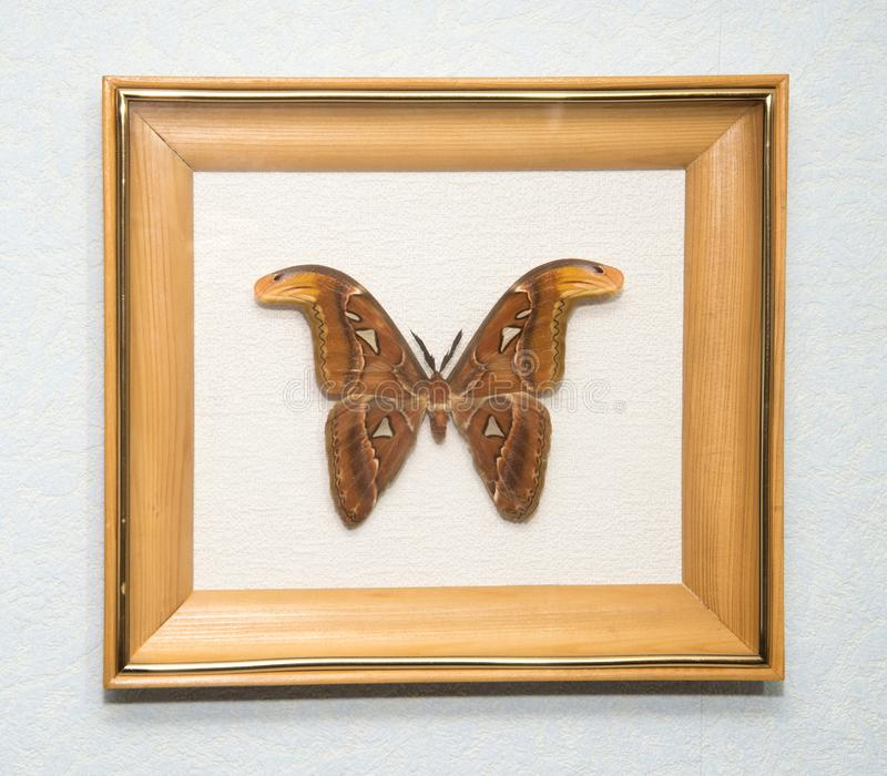 grande farfalla nel telaio di legno immagini stock