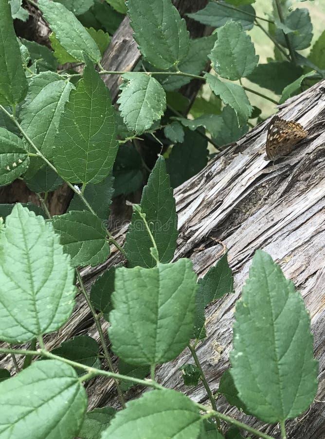 Grande farfalla Spangled del Fritillary immagini stock
