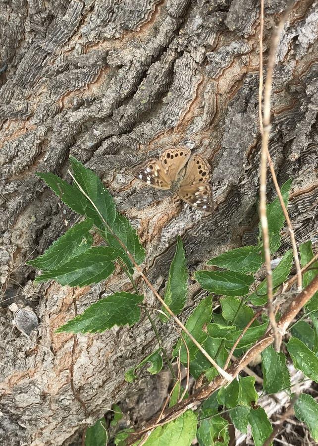 Grande farfalla Spangled del Fritillary immagini stock libere da diritti
