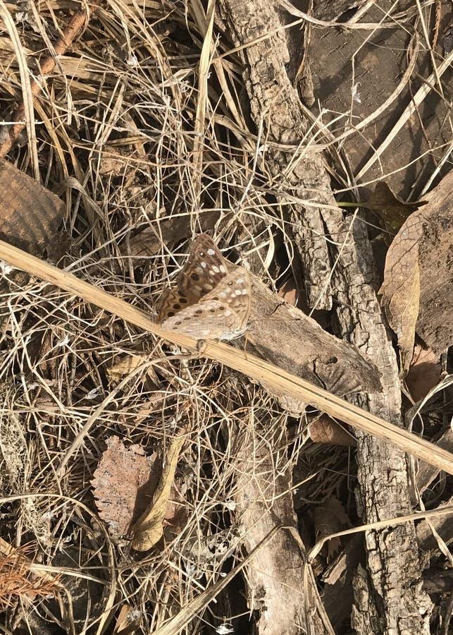 Grande farfalla Spangled del Fritillary fotografie stock libere da diritti
