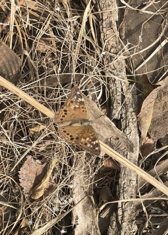 Grande farfalla Spangled del Fritillary fotografia stock