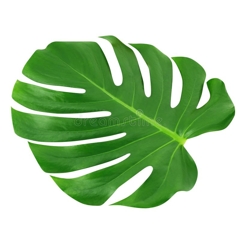 Grande feuille de Monstera d'isolement Fond blanc de jungle de feuille de modèle tropical unique vert de conception, avec le chem photo libre de droits