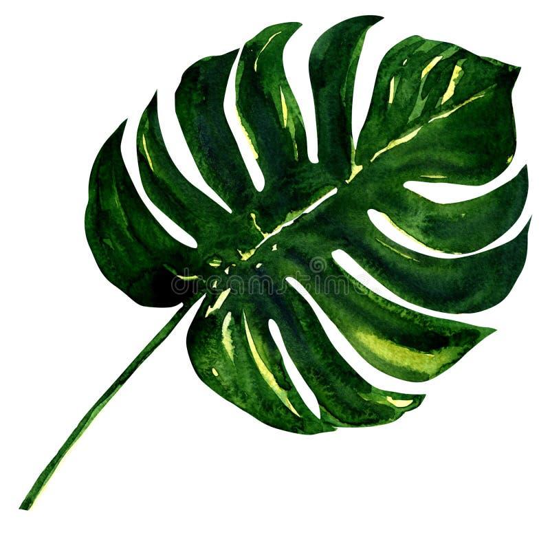 Grande feuille verte d'usine de Monstera, d'isolement dessus illustration stock