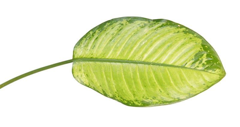 Grande feuille verte du seguine de Dieffenbachia de plante tropicale ou de la canne muette d'isolement sur le fond blanc image stock