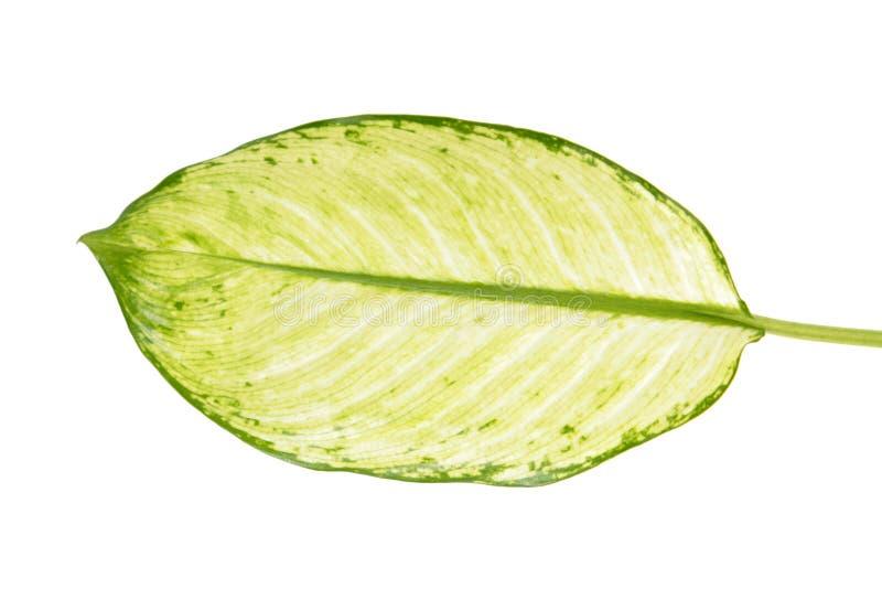 Grande feuille verte du seguine de Dieffenbachia de plante tropicale ou de la canne muette d'isolement sur le fond blanc photographie stock libre de droits