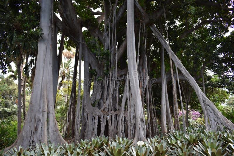 Grande figue d'étrangleur dans un jardin botanique à Puerto de la Cruz, Ténérife, l'Europe images stock