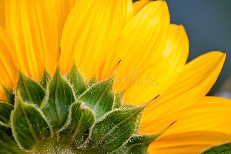 Grande fim amarelo do girassol acima fotografia de stock