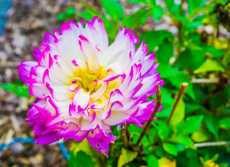Grande fim branco cor-de-rosa roxo do macro da flor da dália acima foto de stock royalty free