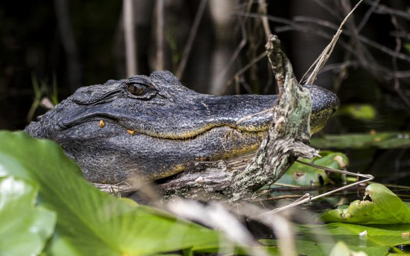 Grande fin d'alligator américain vers le haut de marais d'Okefenokee photographie stock libre de droits