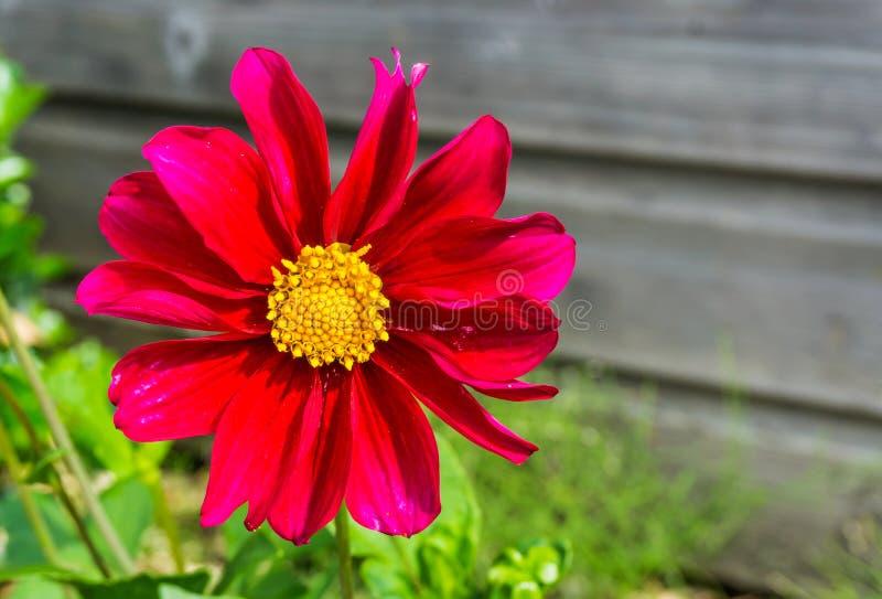 Grande fin de floraison rouge et rose de macro de fleur de cosmos  image libre de droits