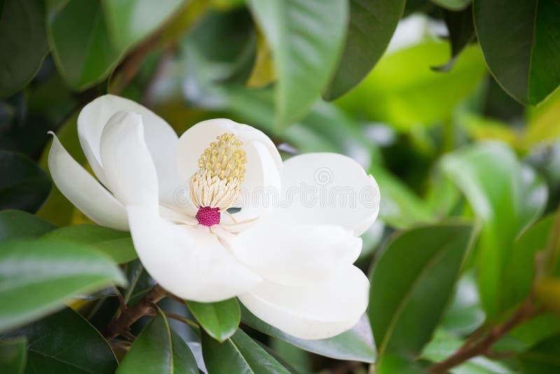 Grande fine bianca fantastica del fiore della magnolia su immagini stock libere da diritti