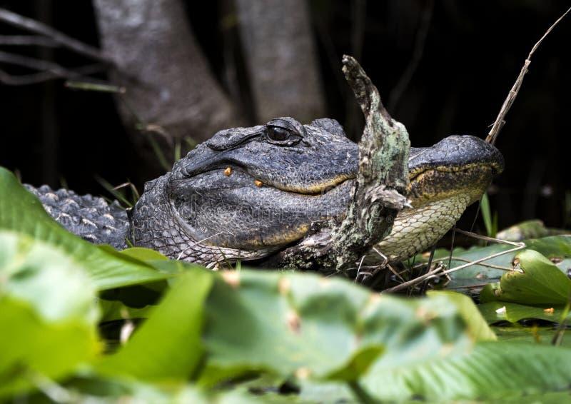 Grande fine dell'alligatore sul colpo capo di profilo fotografia stock