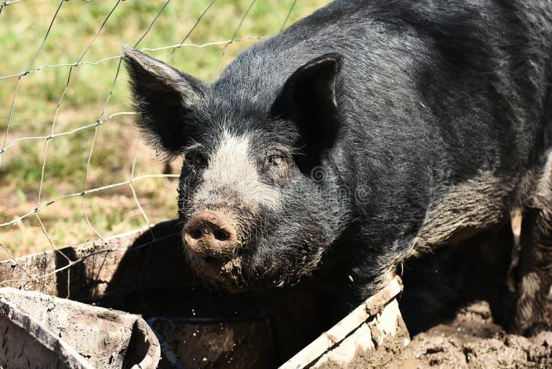 Grande fine domestica del maiale su fotografie stock libere da diritti