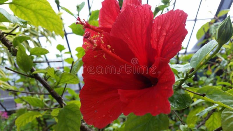 Grande fine rossa del fiore su fotografia stock