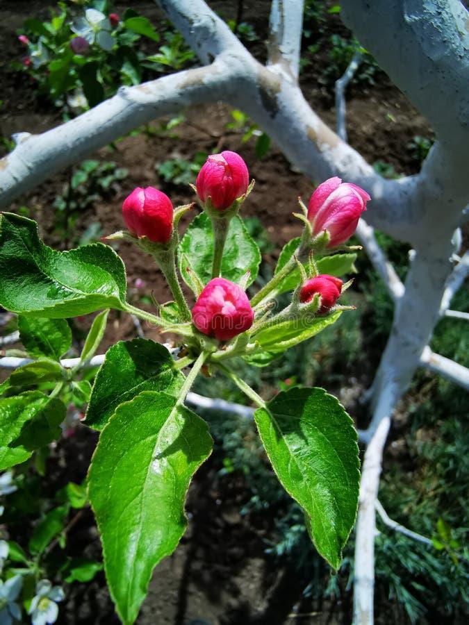 Grande fiore della mela fotografia stock