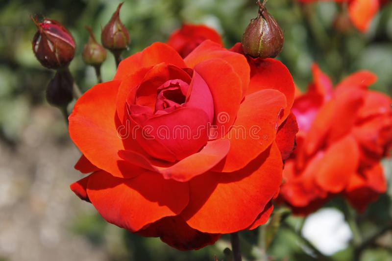 Grande fiore della rosa rossa con i germogli fotografia stock libera da diritti