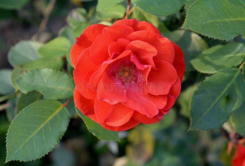 Grande fiore della rosa rossa nel parco fotografia stock