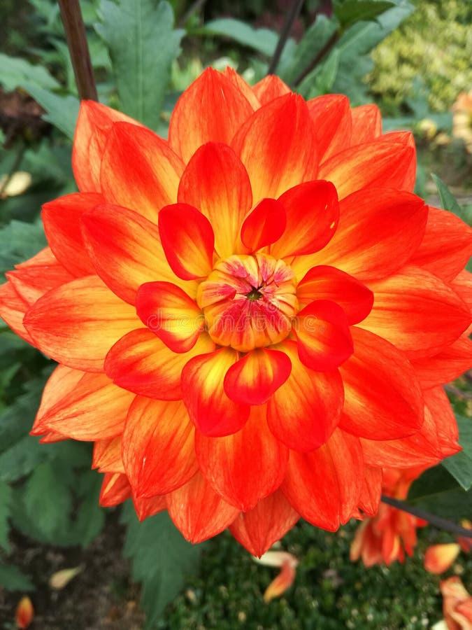 Grande fiore giallo/arancio immagine stock libera da diritti
