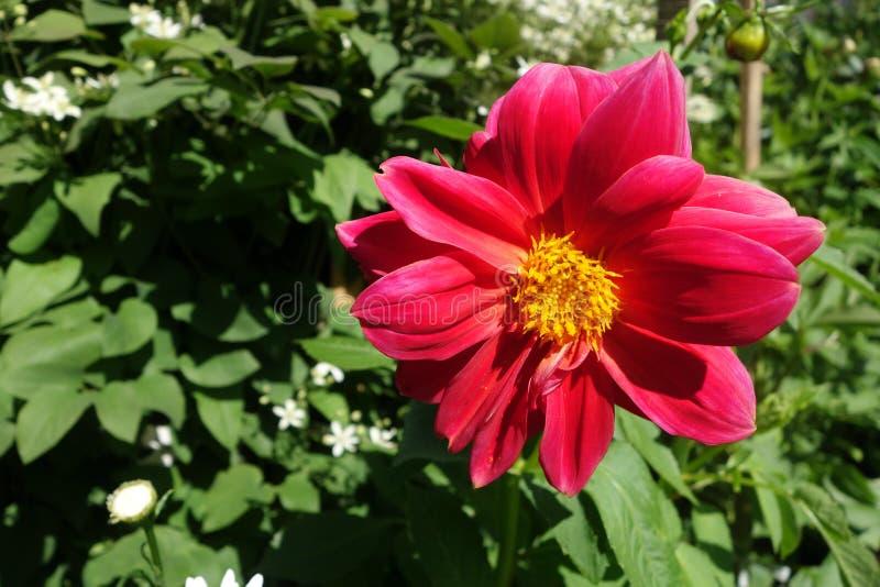 Grande fiore, peonia rossa immagini stock