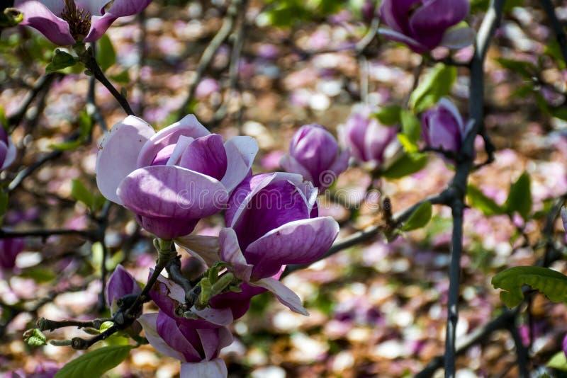 Grande fiore rosa dei fiori dell'albero fiorito della magnolia immagine stock