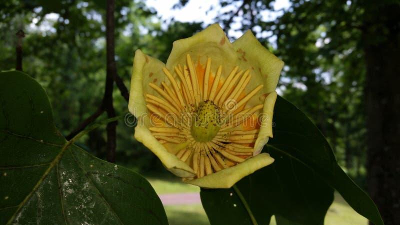 Grande fiore sull'albero fotografia stock