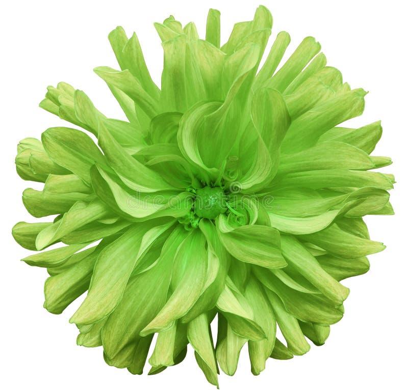 Grande fleur automnale verte, centre vert sur un fond blanc d'isolement avec le chemin de coupure closeup grande fleur hirsute po images stock