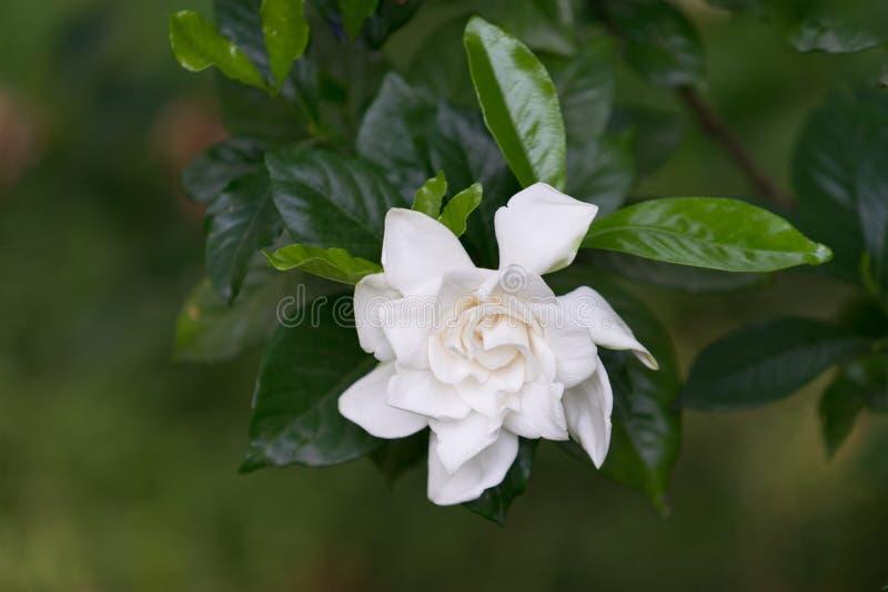 Grande fleur blanche de camélia photos stock