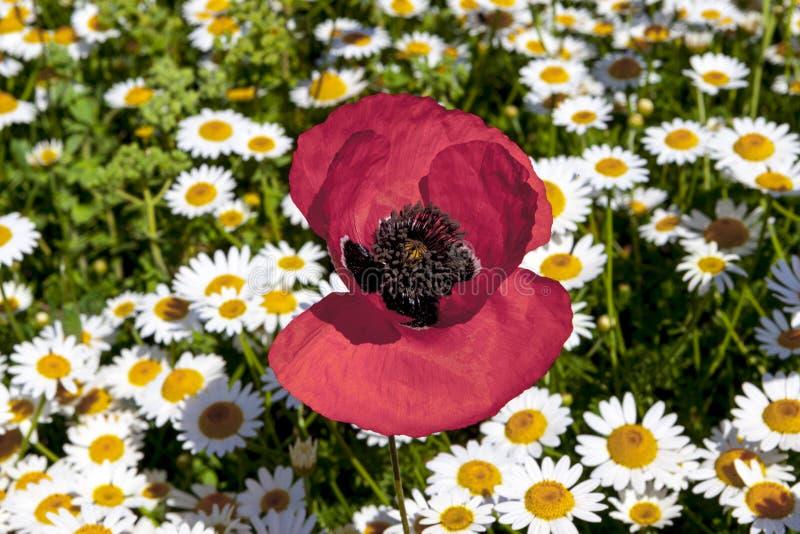 Grande fleur de pavot sur le champ photo stock