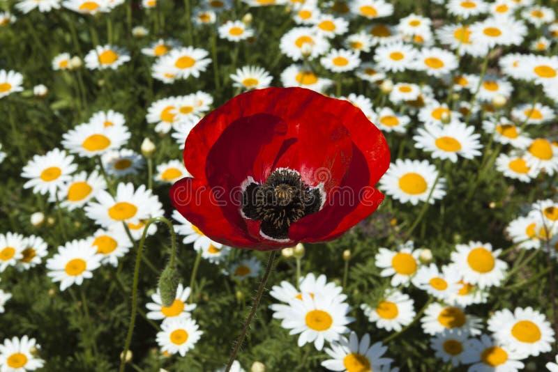 Grande fleur de pavot sur le champ image libre de droits