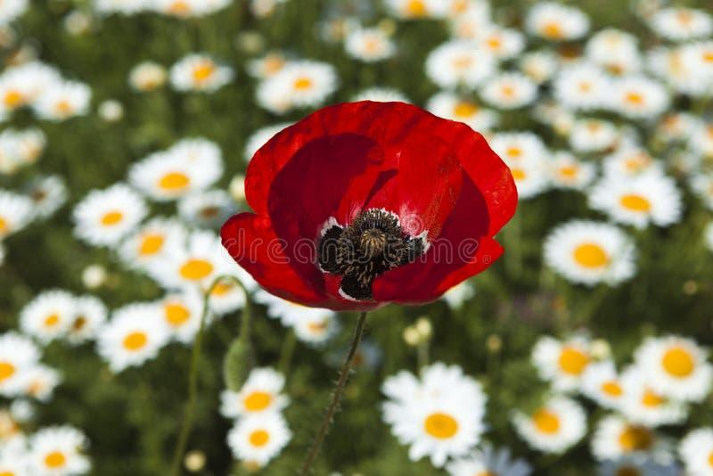 Grande fleur de pavot sur le champ photo libre de droits