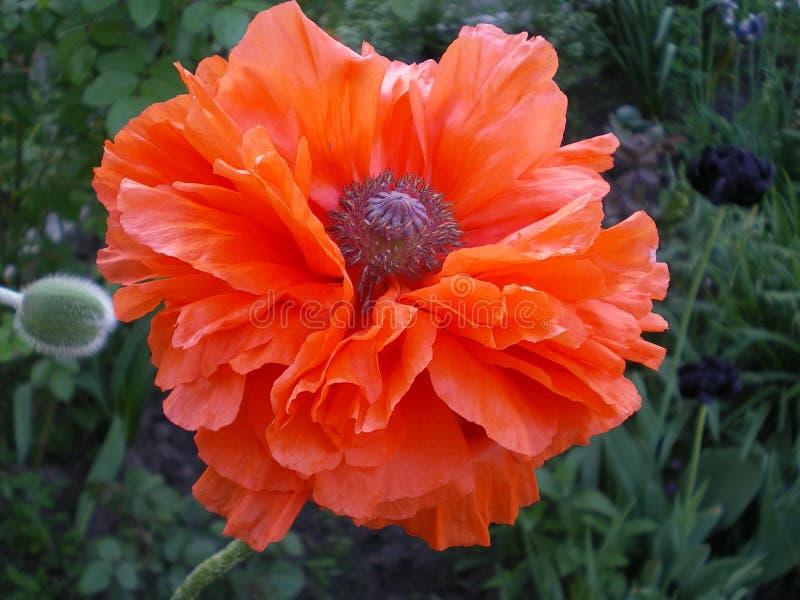 grande fleur orange de pavot de Terry images stock
