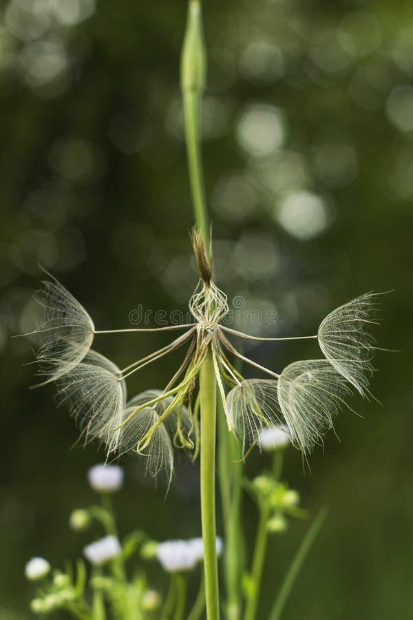 Grande fleur pelucheuse blanche de pissenlit Parent éloigné de pissenlit - salsifis Fleur de Tragopogon Des graines sont soutenue image stock