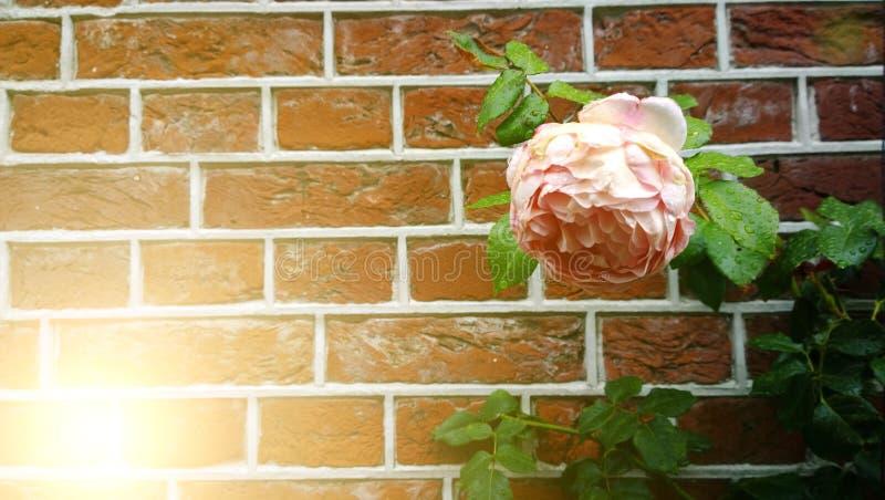 Grande fleur rose sur un fond de mur de briques rouge Un rayon de soleil dans le coin du cadre photographie stock libre de droits