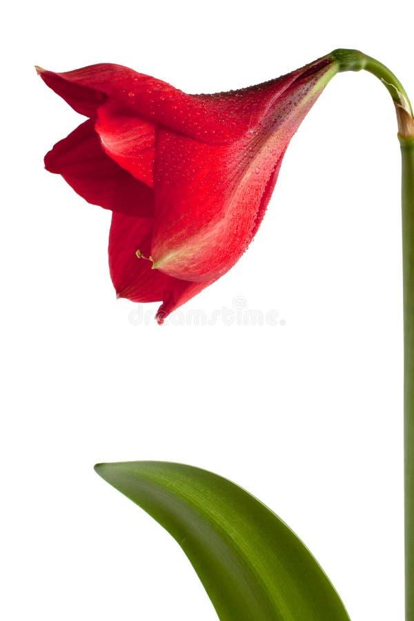 Grande fleur rouge photo stock