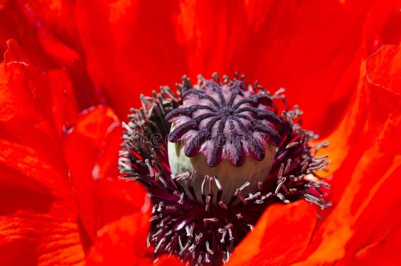 Grande fleur rouge de pavot photos libres de droits