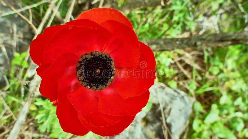 Grande fleur rouge en clairière photographie stock