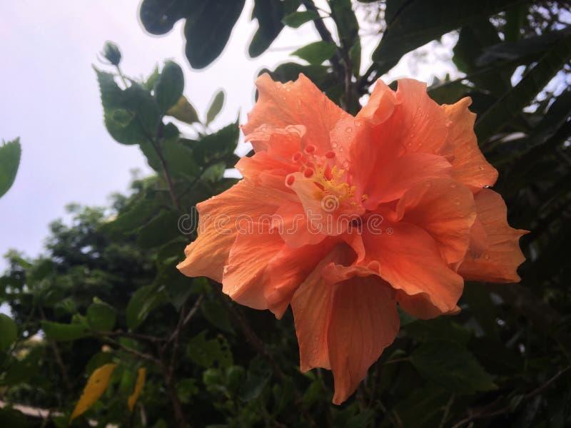 Grande flor alaranjada brilhante do hibiscus nas folhas e na haste verdes imagem de stock