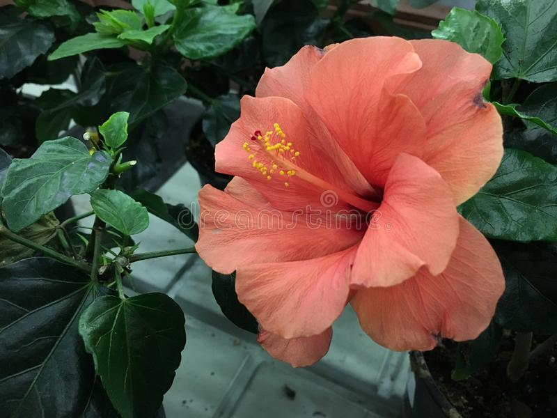 A grande flor cor-de-rosa brilhante do hibiscus roxo aumentou sinensis no verde deixa o fundo natural Jardim tropical de Karkade imagem de stock