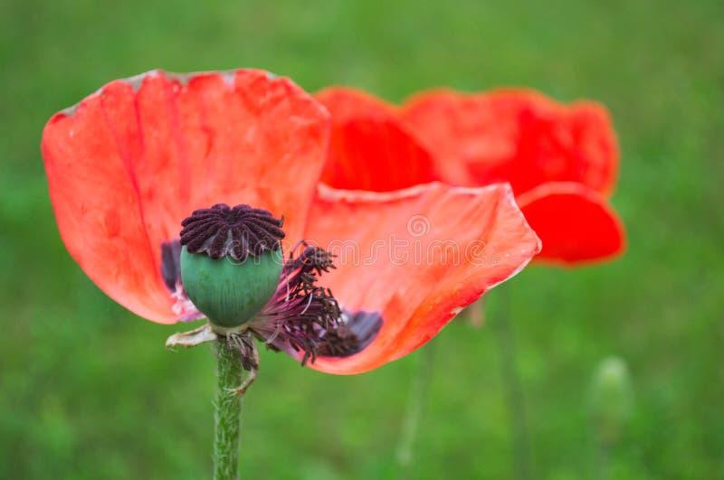Grande flor da papoila com folhas de queda foto de stock royalty free