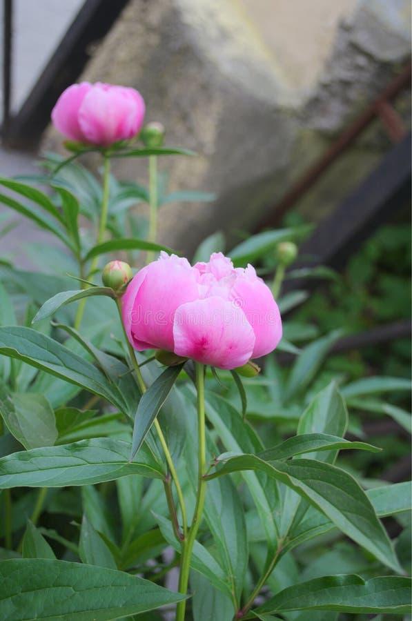 Grande flor da peônia com pétalas cor-de-rosa fotos de stock royalty free