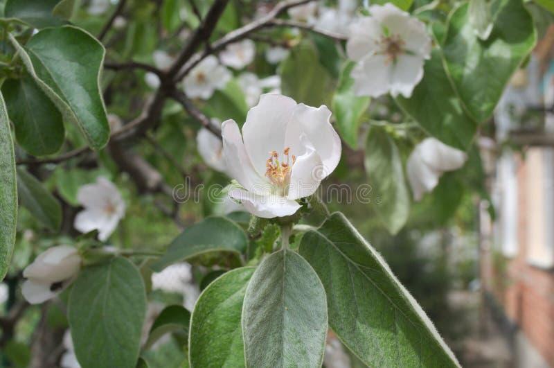 Grande flor de um marmelo da árvore de fruto fotografia de stock