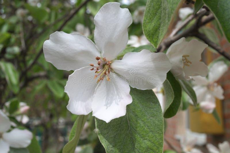 Grande flor de um marmelo da árvore de fruto foto de stock