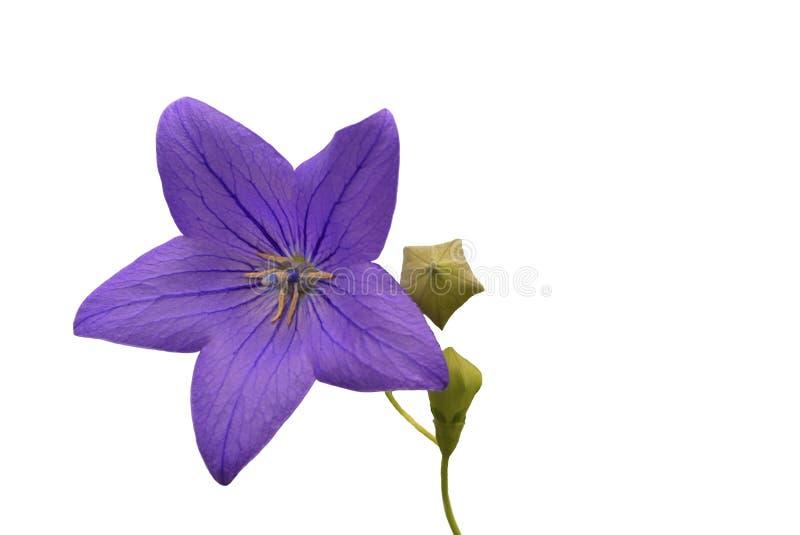 Grande flor em um fundo branco imagens de stock