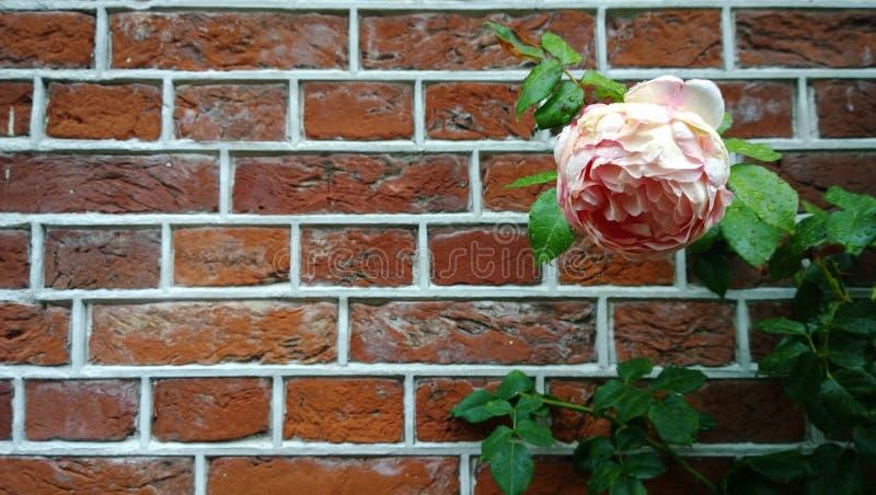 Grande flor pálida - peônia cor-de-rosa em um fundo de paredes de tijolo bonitas A flor à direita imagem de stock