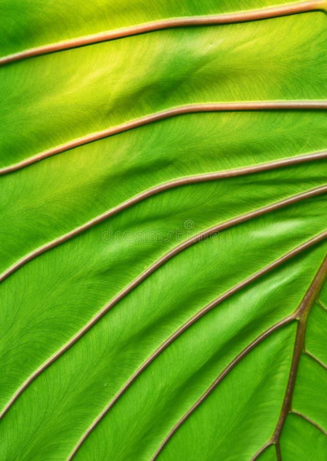 Grande foglia verde fotografia stock