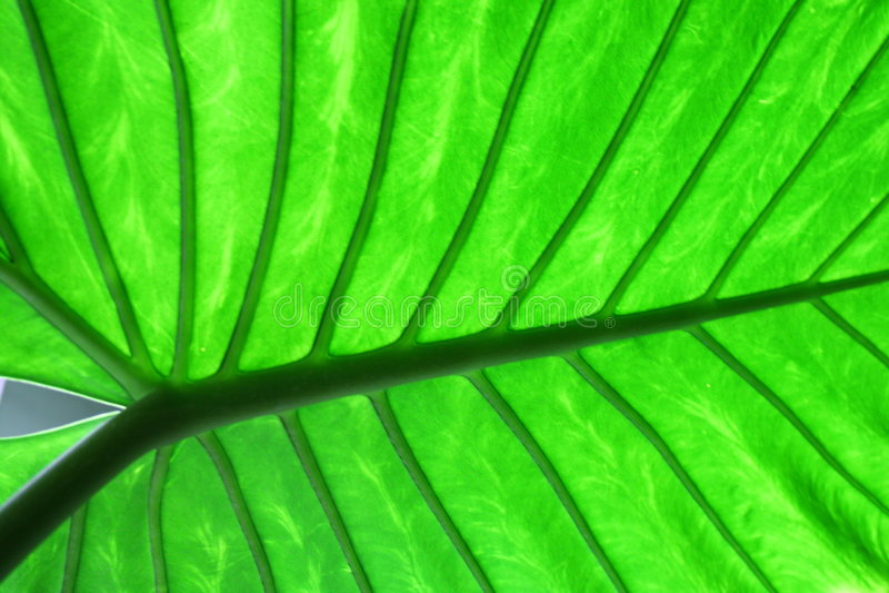 Grande foglio verde immagine stock