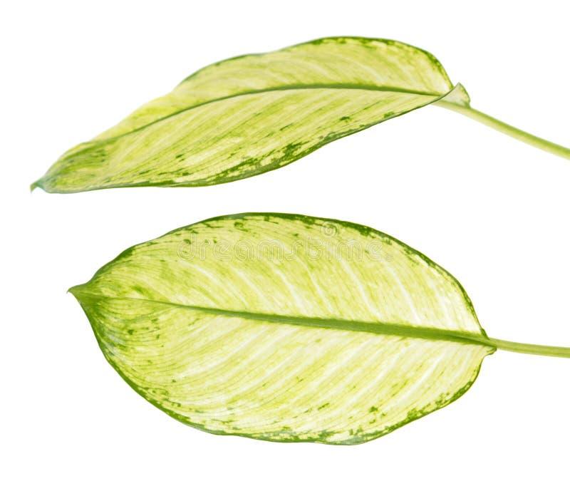 Grande folha verde do seguine ou do dumbcane do Dieffenbachia da planta tropical isolado no branco fotografia de stock royalty free