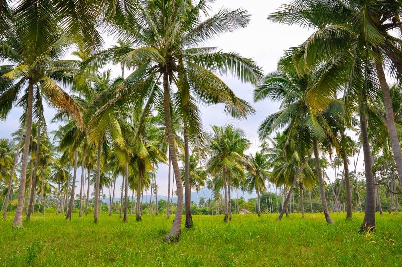 Grande forêt tropicale se composant des cocotiers grands image libre de droits