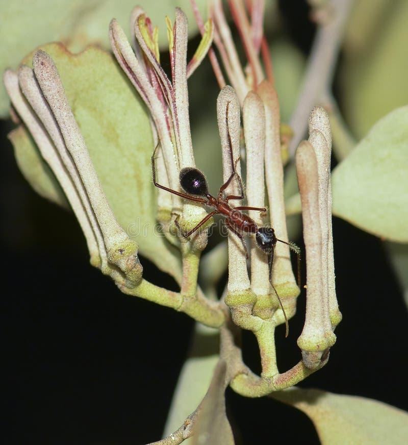Grande formica dello zucchero sul vischio fotografia stock